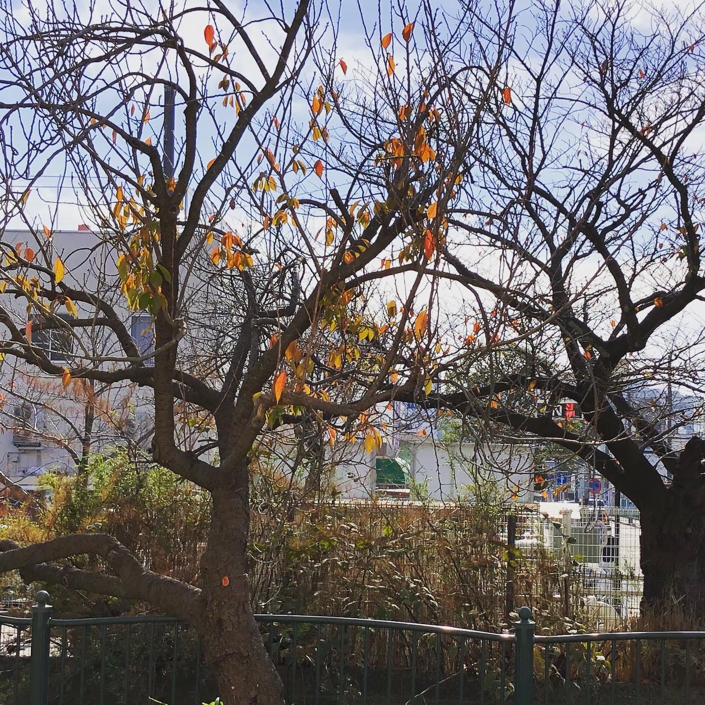 冬の訪れ【桜並木/整骨院】